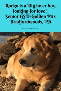 Rocko, Senior German Shepard, Golden Retriever Mix