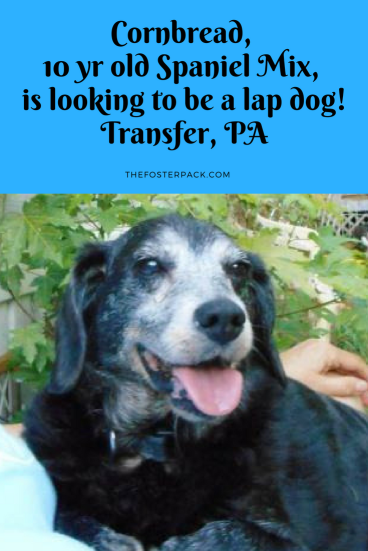 Cornbread, 10 yr old Spaniel Mix, is looking to be a lap dog!