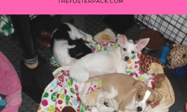 Foster Puppies Update: Razzie's Litter