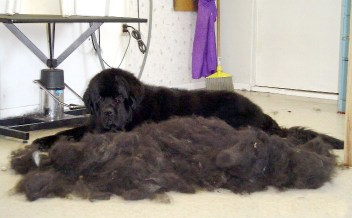 Dog brushing is serious business. Photo Credit: