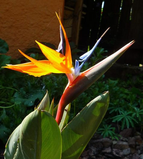 Bird of paradise flower, open and shining after it's long ripening period - by Mark Elmy