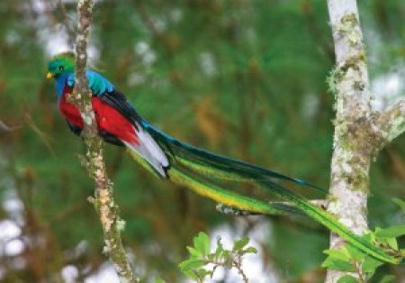 The Resplendent Quetzal, national bird of Guatemala. From http://themixedculture.com/2013/09/30/the-quetzal-bird/