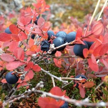 berries greenland