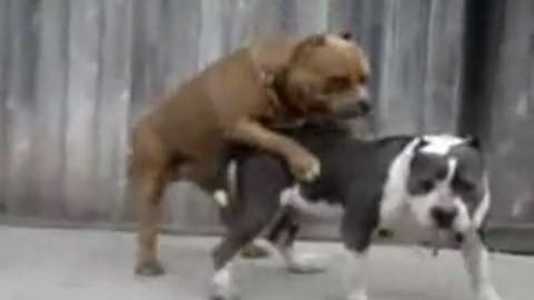 Dog has sex & then vomits (video)
