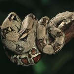 Virgin snake gives birth to 22 babies.