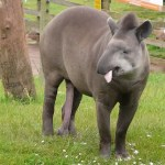 Tapir Penis