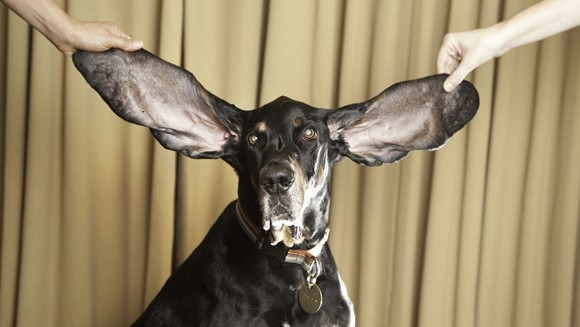 Dog with Huge Ears Breaks Record