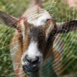 Weird Science:  The goats with spider genes