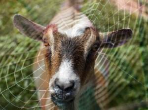 genetically modified goat