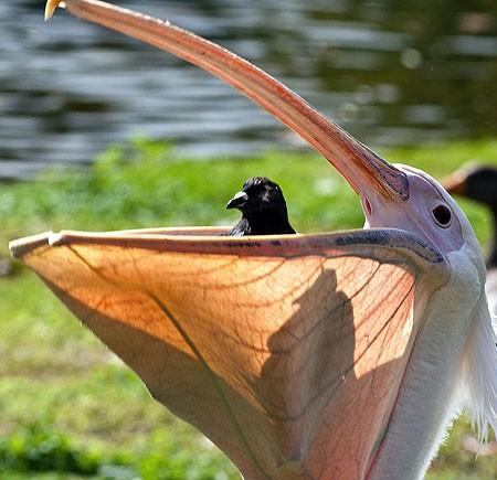 Pelican swallows whole live pigeon (Video)