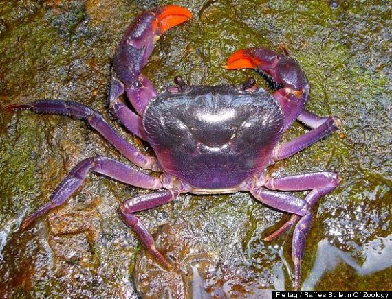 weird animals purple crabs