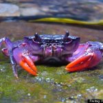 The crabs that are purple