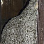 22 Foot Long Wasps Nest Found