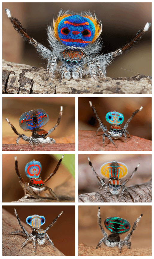 amazing coloured spiders