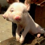 Two Headed Pig Born in China