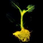Glow-in-the-dark trees to light our streets?