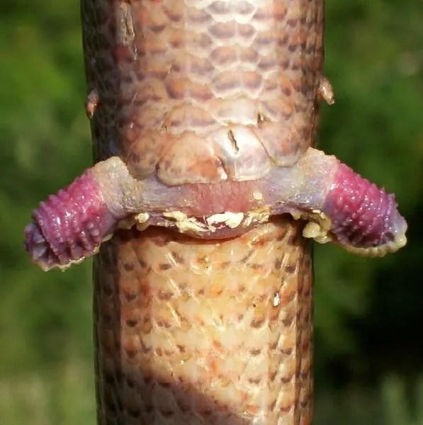 Two Penis Snake