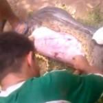 Snake Eats a Pitbull