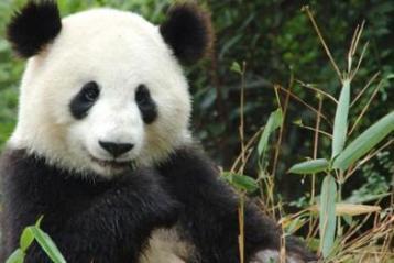 giant panda fakes pregnancy