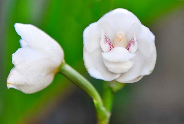 dove-orchid-peristeria-elata