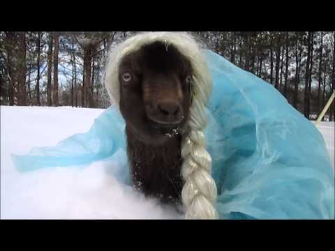 Frozen goat video