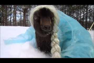 Frozen goat video
