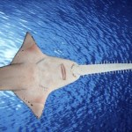 Virgin Birth Sawfish