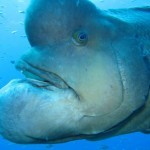 Elephant Man Fish