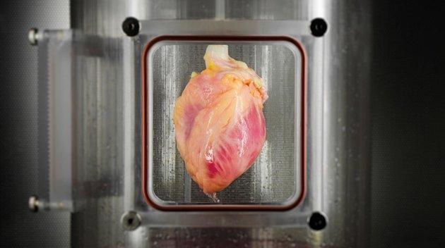 lab grown human heart