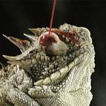 Blood squirting Lizard