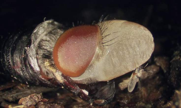 weird fly maggot video