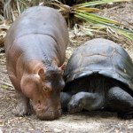 The Tortoise That Adopted a Hippo
