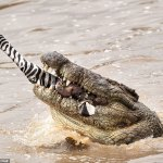 Crocodile Caught with Zebra Legs in Mouth