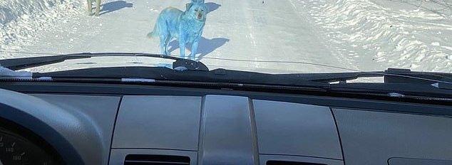 blue fur dog pack