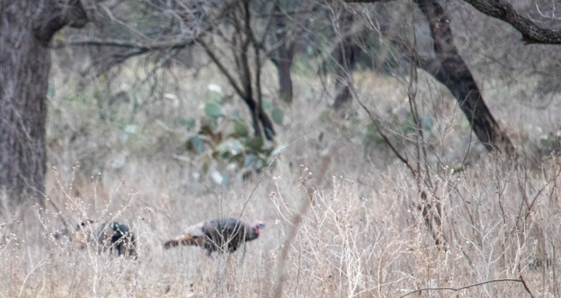 Rio Grande Wild Turkeys Foraging