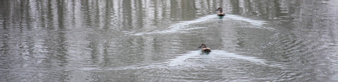 Ducks on South Llano River