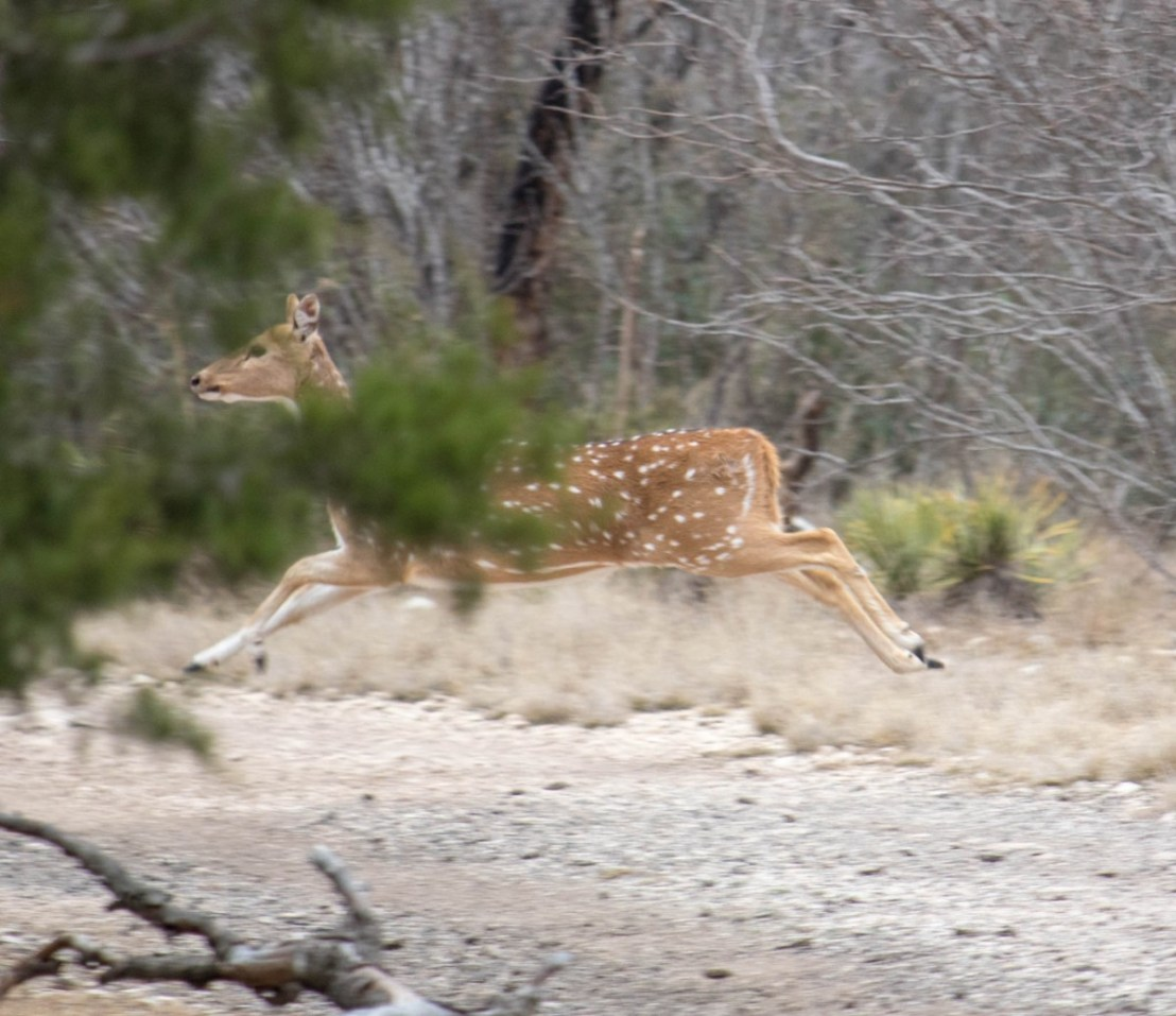 Deer Evading Humans
