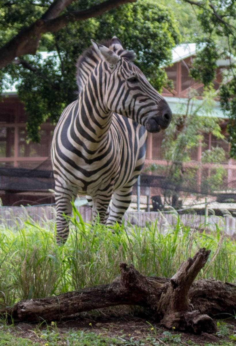 Honolulu Zoo Zebra