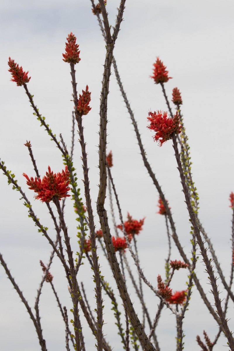 Flames Bursting Out Of Ocotillo