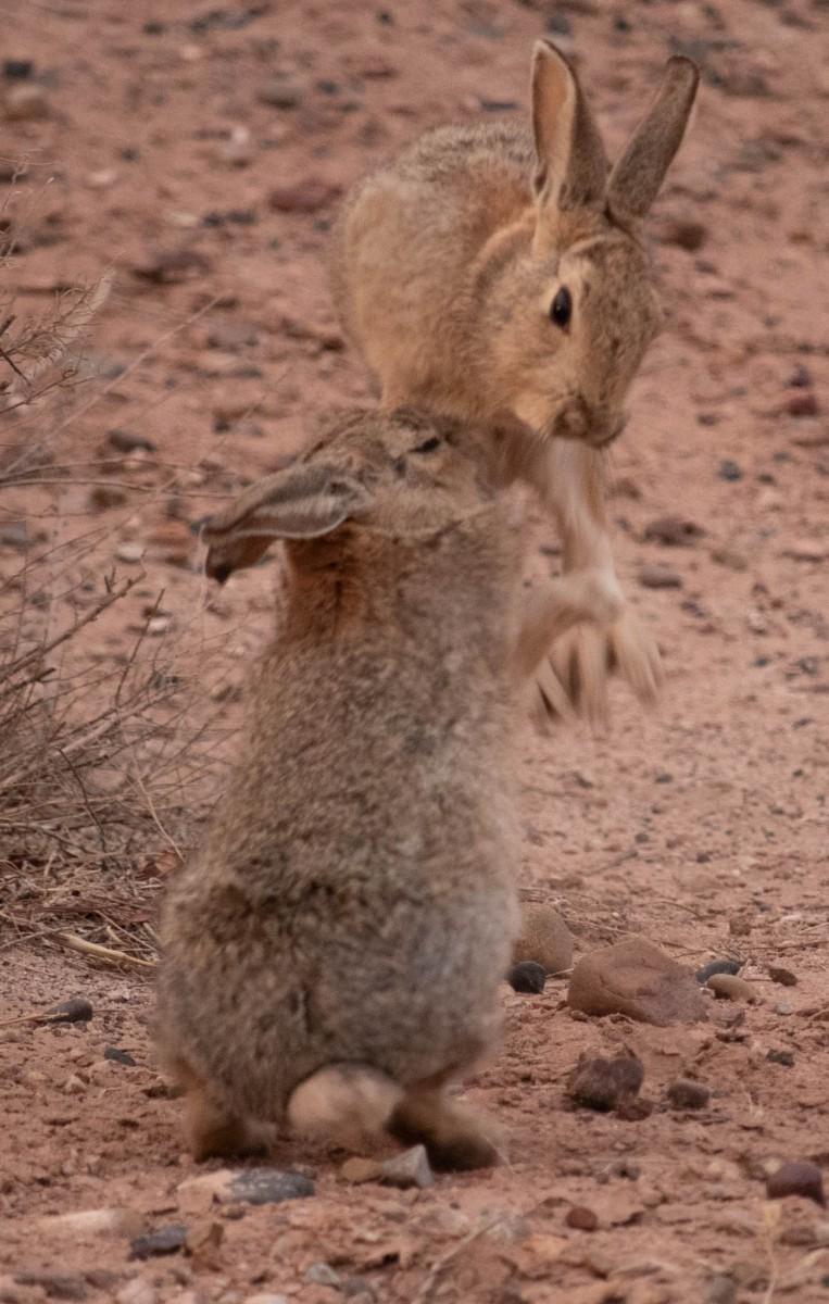 Rabbits Goofing Around