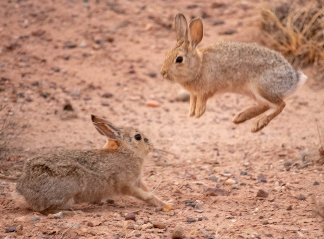 Rabbits Playing