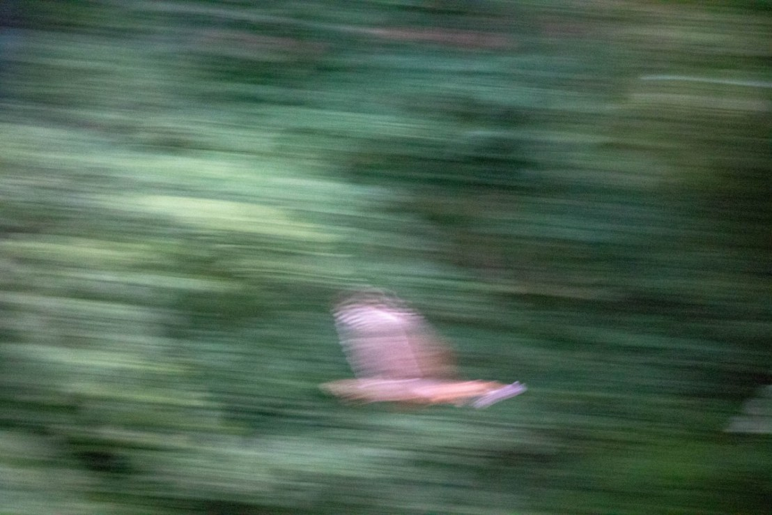 Red Tailed Hawk in Flight