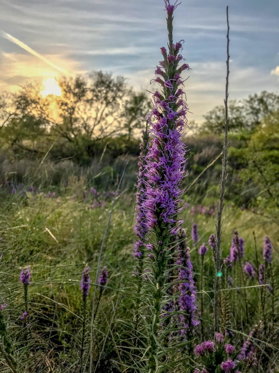 Setting Sun Behind Wildflowers