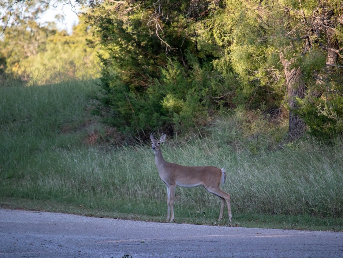 Roadside Tentative Deer