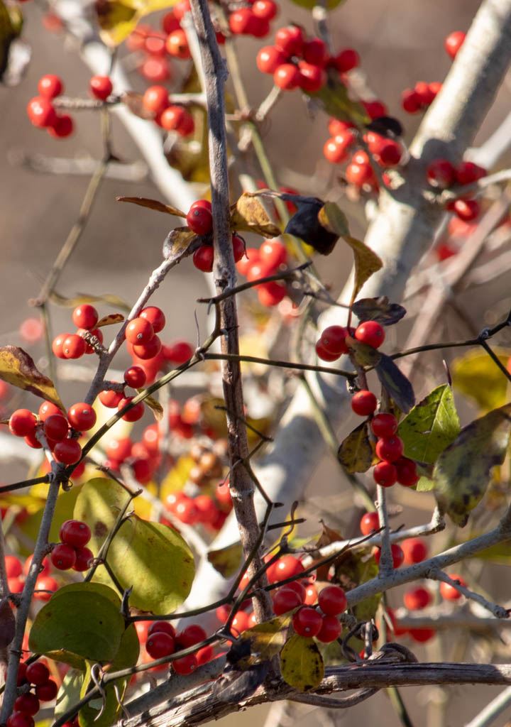 Red Berries - Winter Bird Food