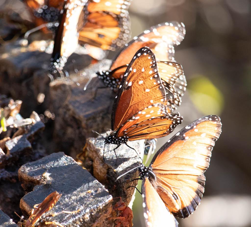 Butterfly Logs