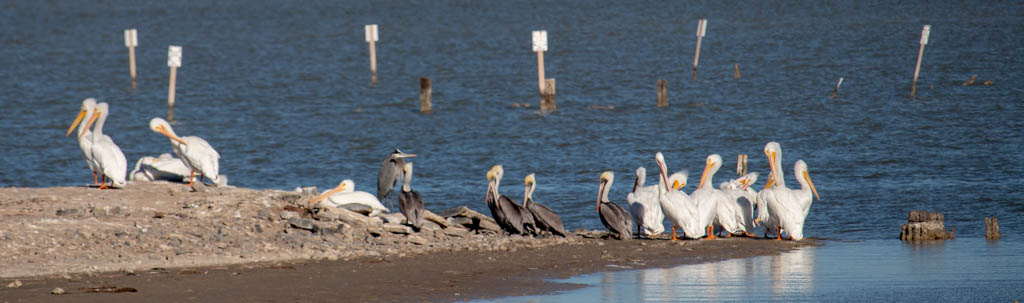 Two Types of Pelicans and an Egret