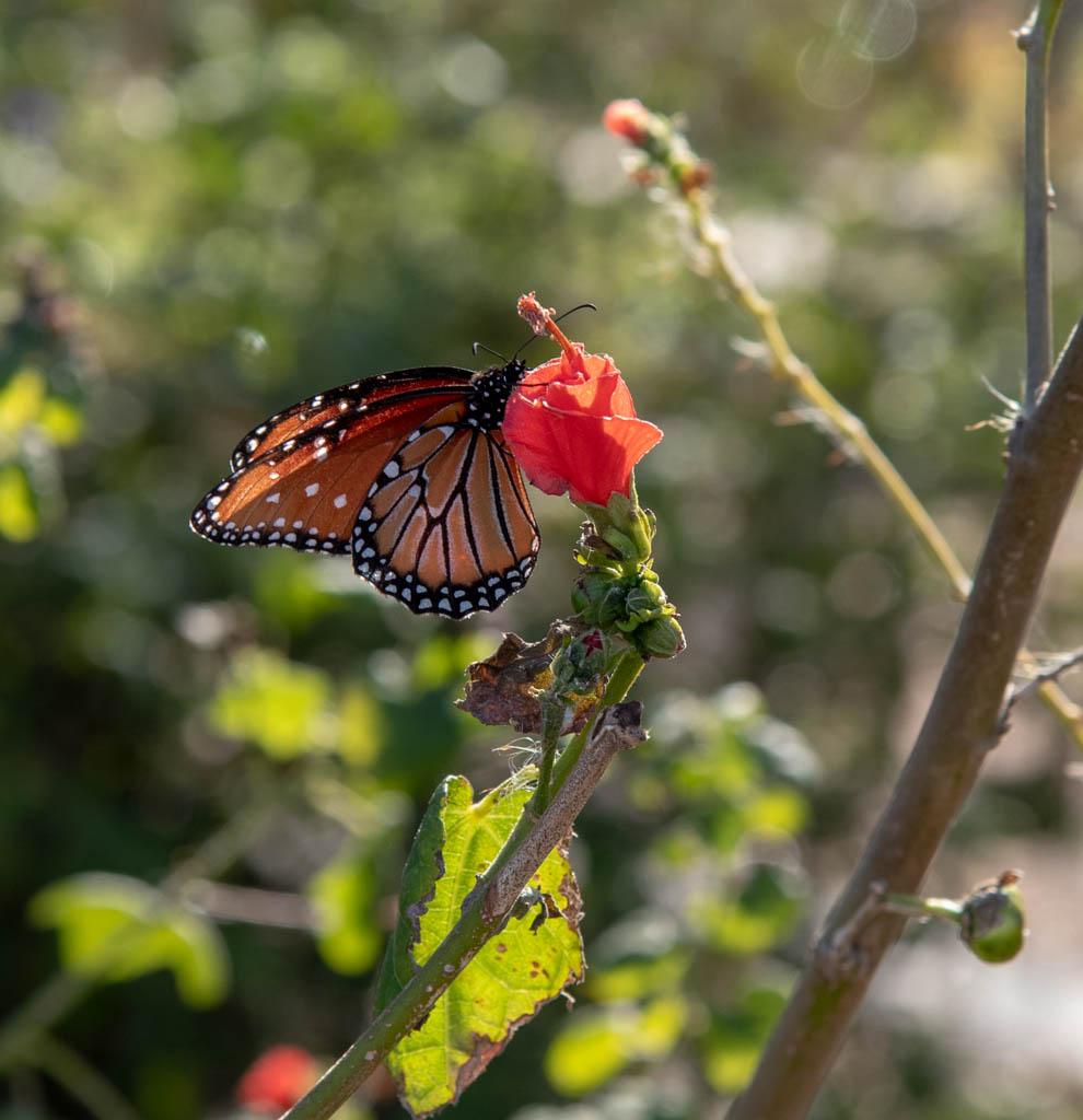 Native Plants Like Turk's Cap Attract Butterflies