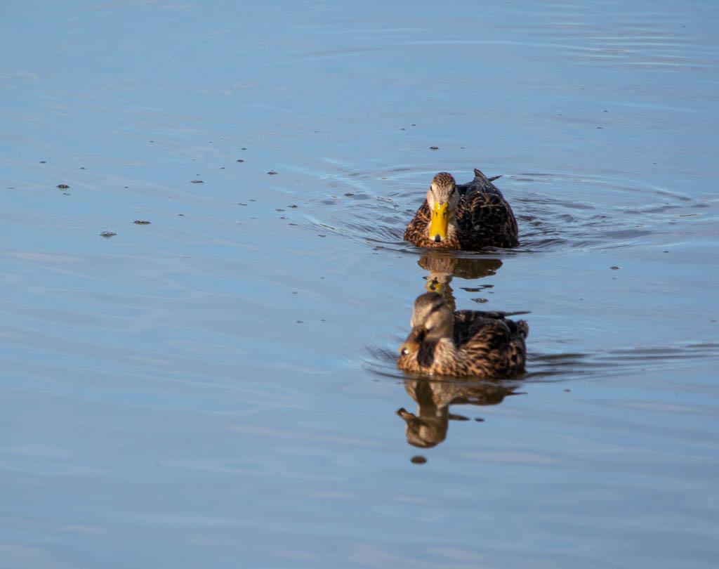 Two Ducks Motoring Along