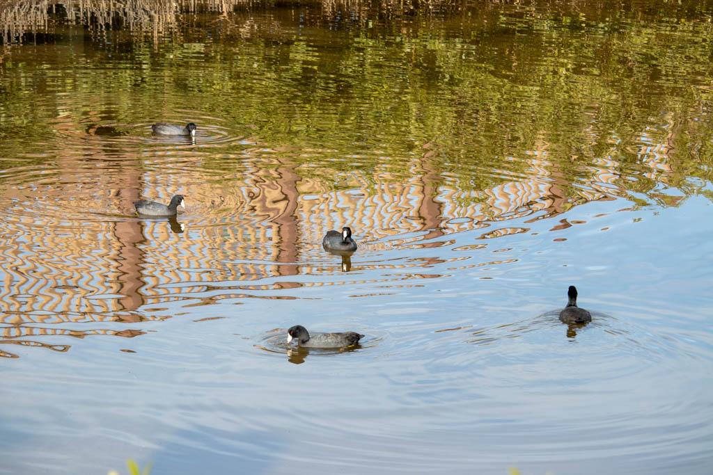 Ducks Paddling Around In Circles
